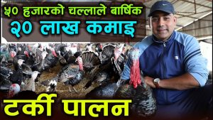 Turkey Farming in Nepal and Its Pros and cons.
