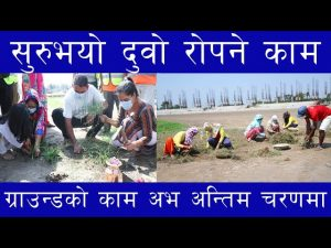 Planting of dubo begins at Gautam Buddha International Cricket Stadium