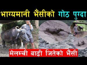 Flood survival story a pregnant buffallo from Melamchi