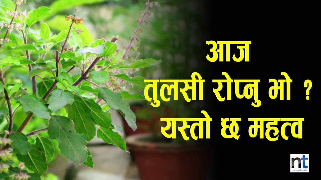 Harishyani Ekadashi is being celebrated by planting Tulasi plants in every house