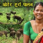 Boar-pig hybrid/Hurra farming in Nepal